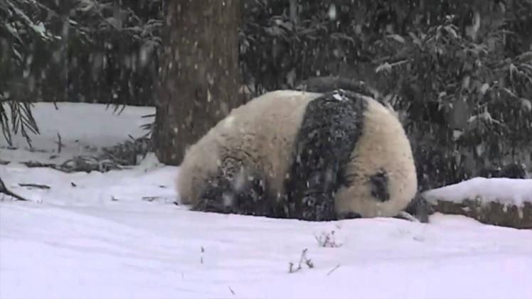 Panda Bao Bao's First Snow Day
